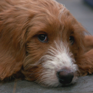5 month old puppy on The Supervet