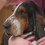 Albert the Basset Hound