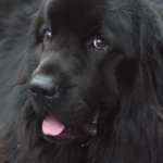 Newfoundland puppy on The Supervet