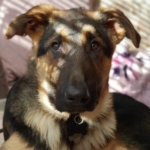 German Shepherd puppy Supervet