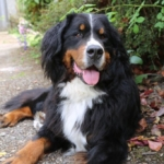 Bernese Mountain Dog in the garden