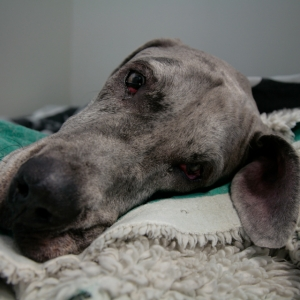 Great Dane Charles resting in the wards