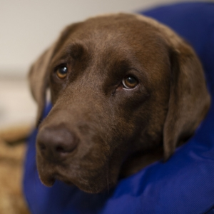 Labrador resting in his kennel
